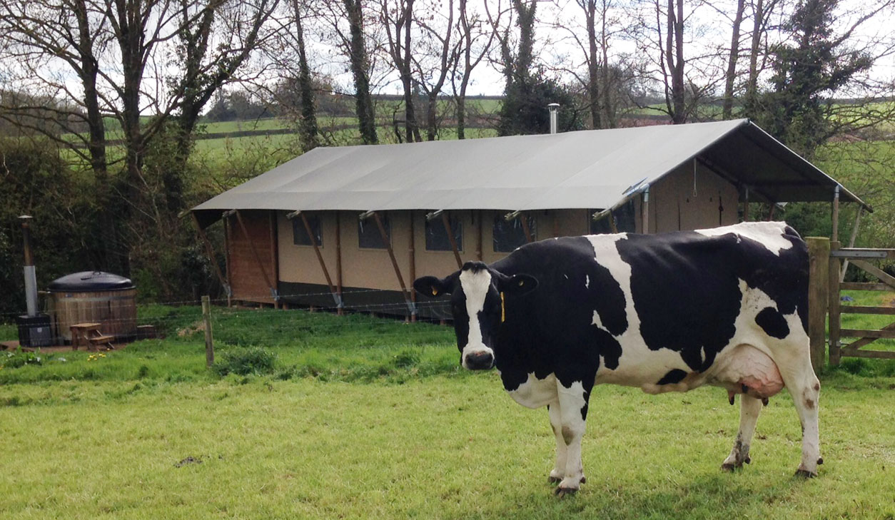 devon glamping farm cow